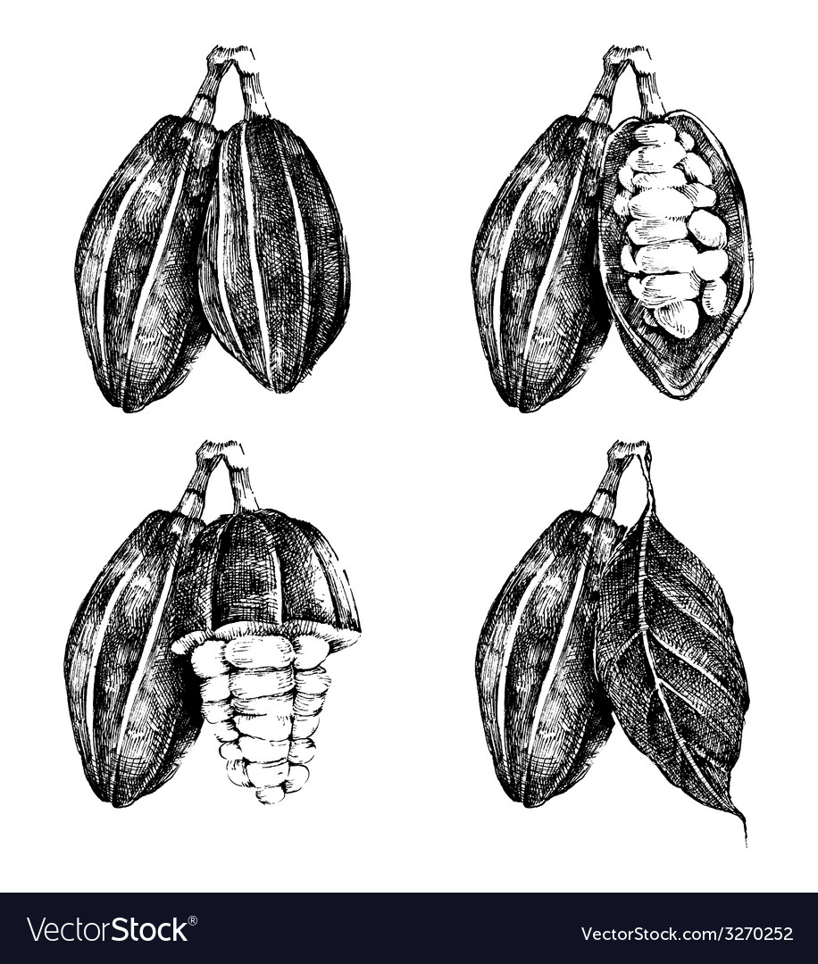 Hand drawn cocoa beans set vector | Price: 1 Credit (USD $1)