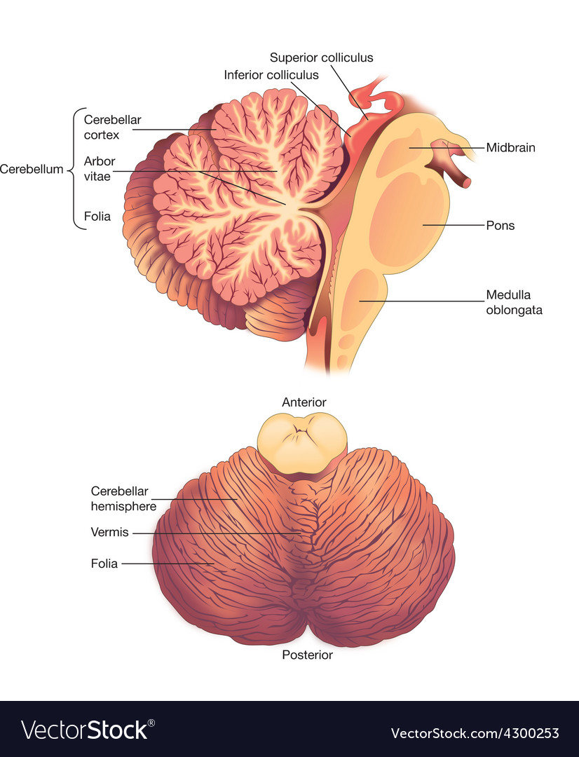 Anatomy of the human cerebellum vector | Price: 3 Credit (USD $3)