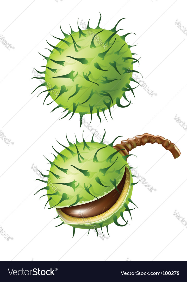 Chestnut seed fruits isolated vector   Price: 1 Credit (USD $1)