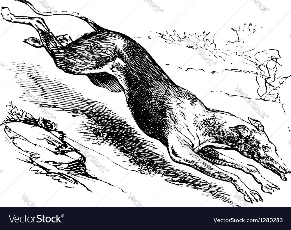 English greyhound vintage engraving vector   Price: 1 Credit (USD $1)