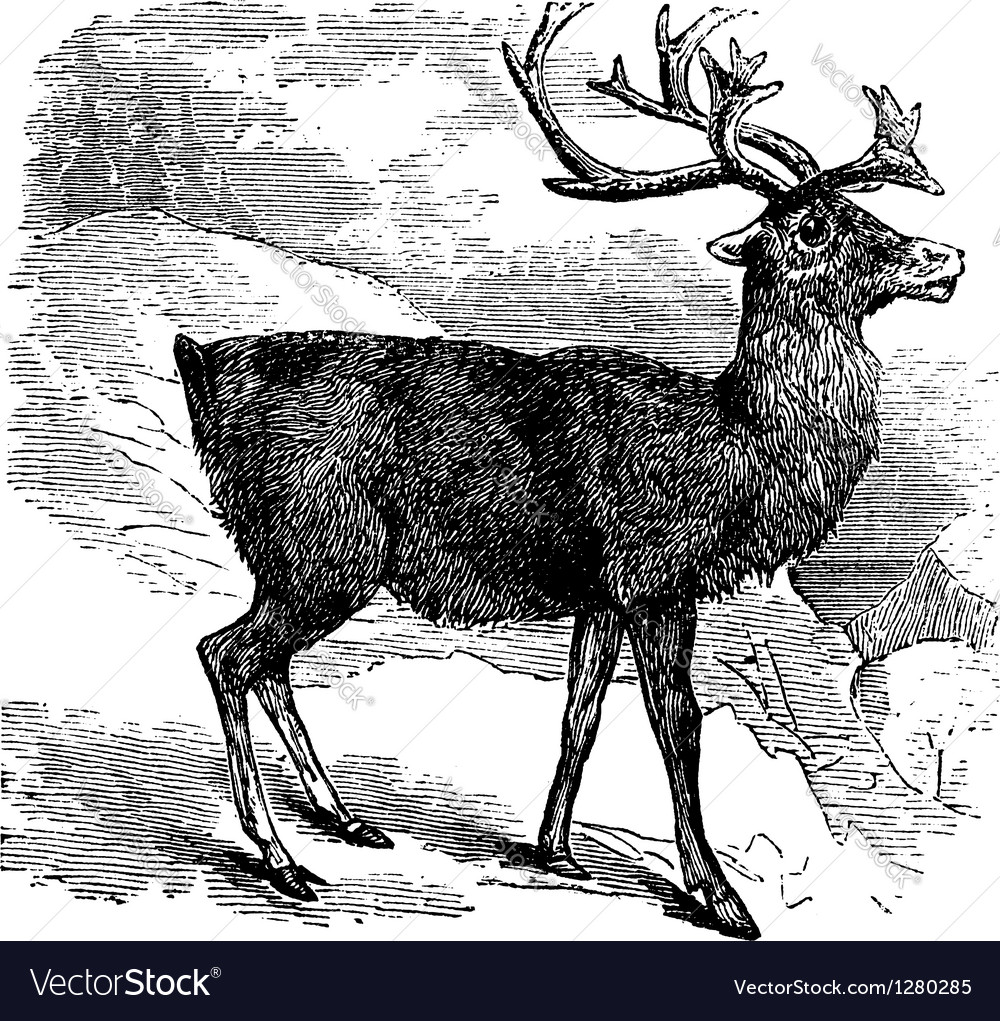 Caribou or reindeer vintage engraving vector | Price: 1 Credit (USD $1)