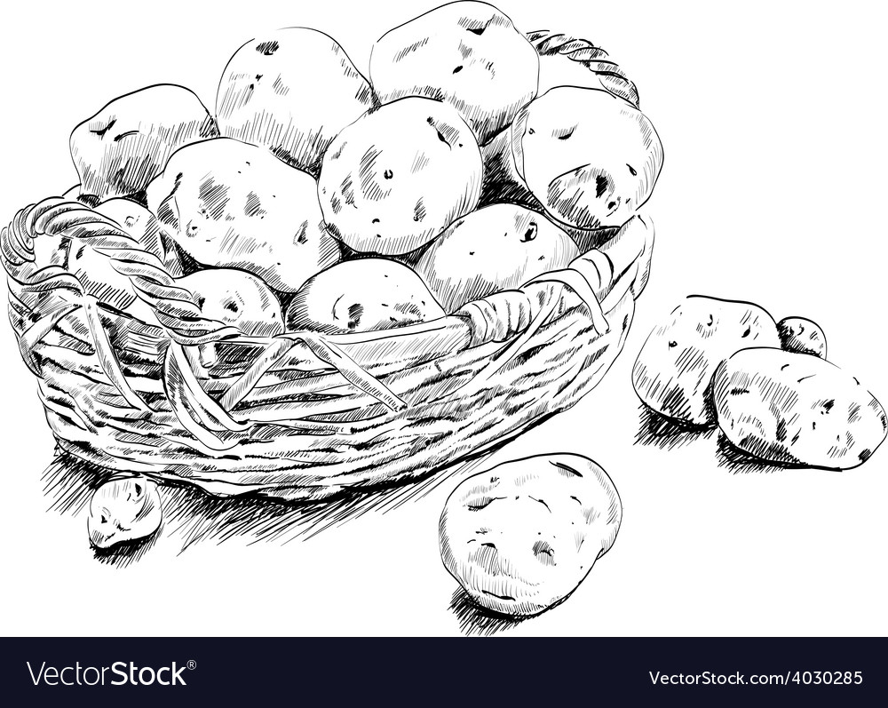 Potatoes scetch in a basket on white bsckground vector | Price: 1 Credit (USD $1)