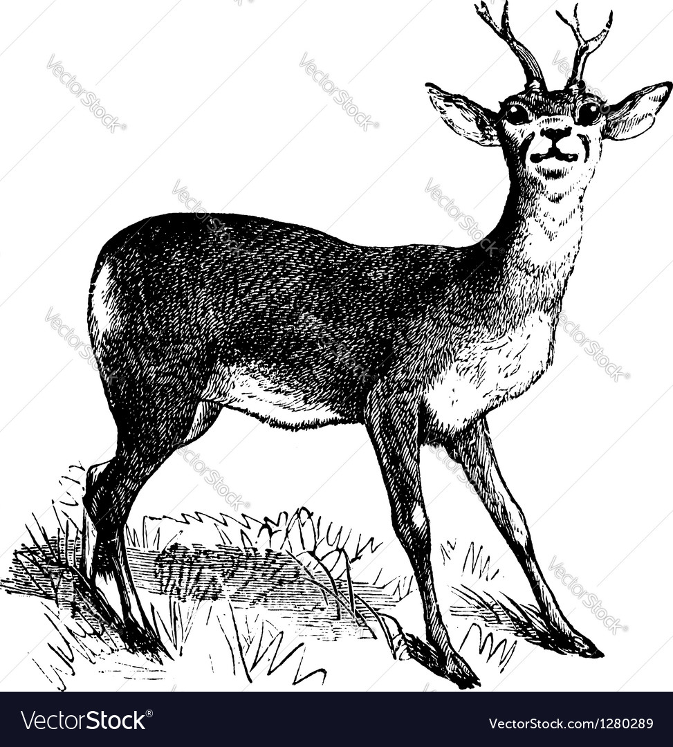 Roe deer vintage engraving vector | Price: 1 Credit (USD $1)