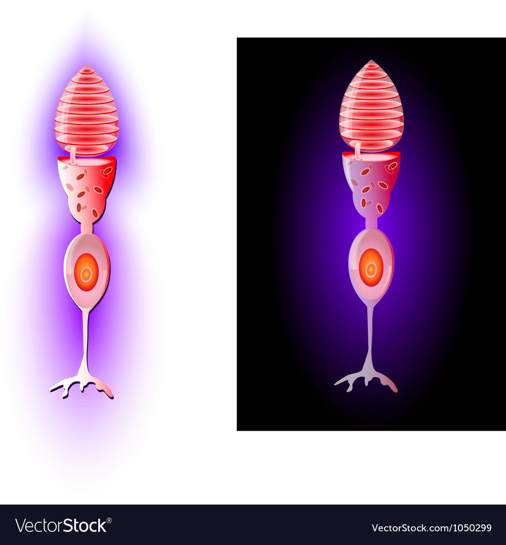 Cone cells vector | Price: 1 Credit (USD $1)