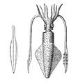 European squid vintage engraving vector