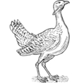 Great bustard bird drawing vector
