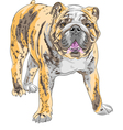 Dog english bulldog vector
