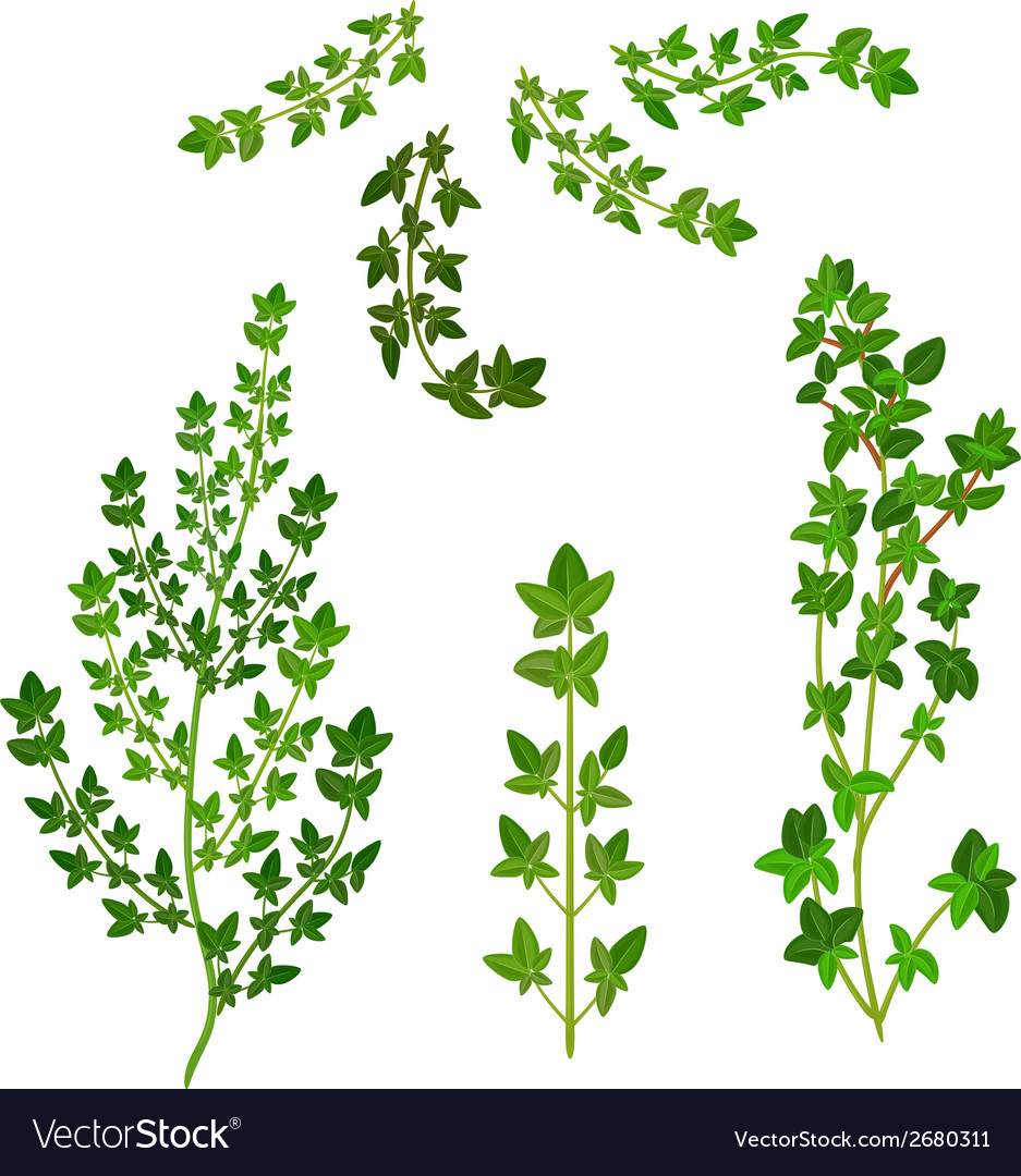 Bunch fresh thyme herb isolated set vector | Price: 1 Credit (USD $1)