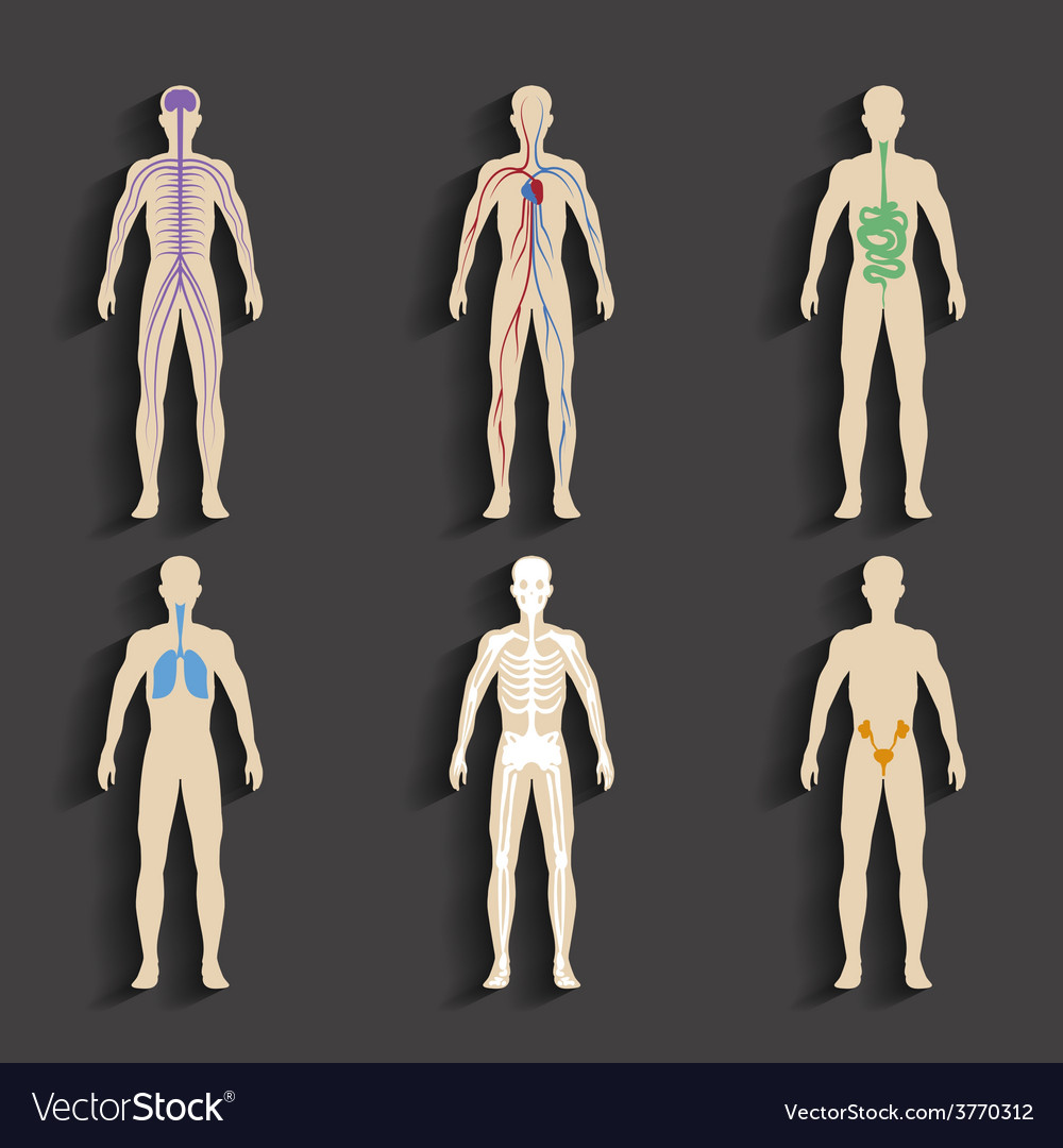 Human organs and body systems vector | Price: 1 Credit (USD $1)