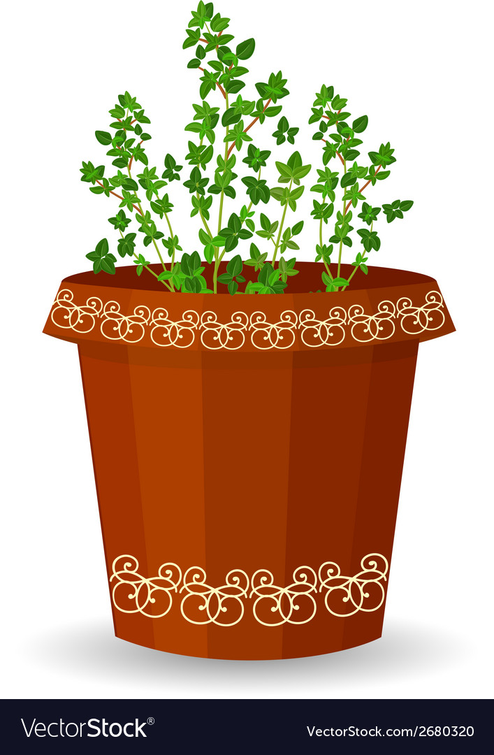 Thyme in a flower pot vector | Price: 1 Credit (USD $1)