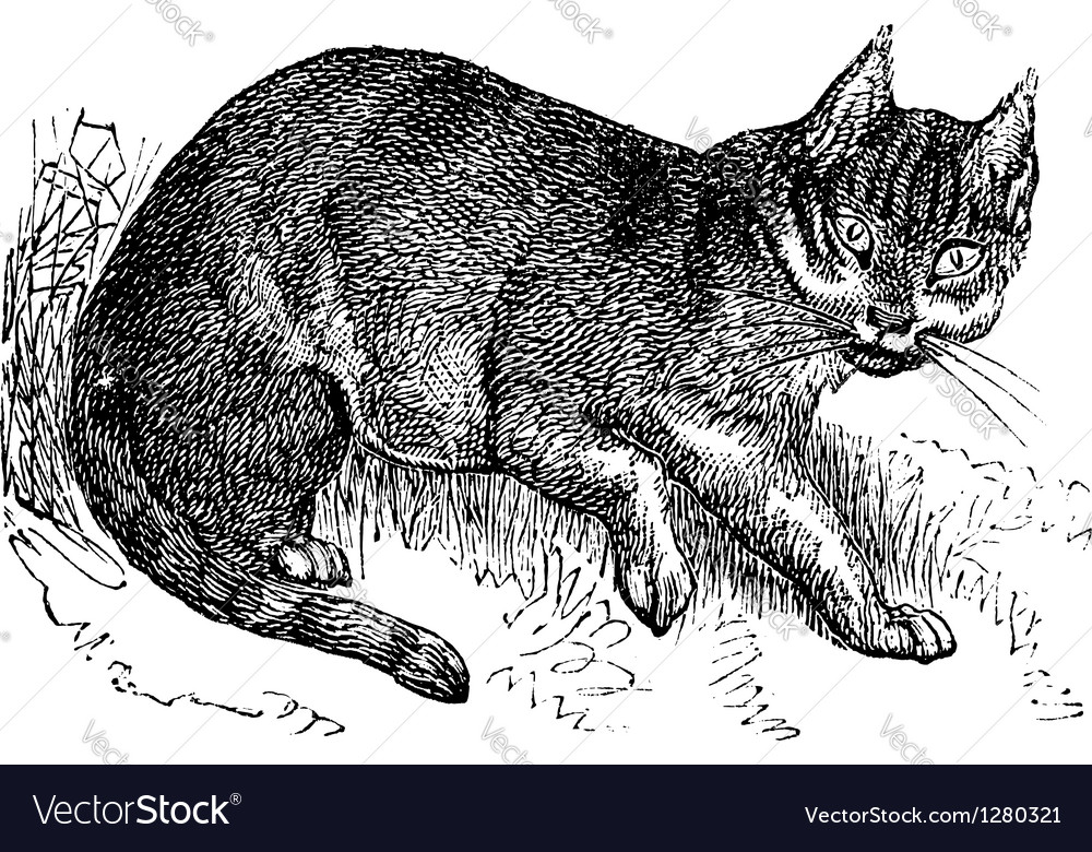 Wildcat vintage engraving vector | Price: 1 Credit (USD $1)