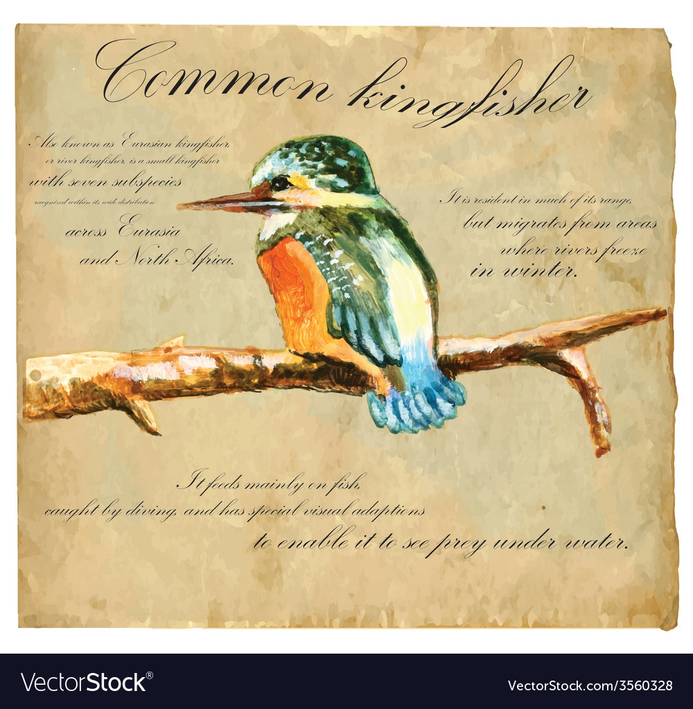 Hand painted bird kingfisher vector | Price: 3 Credit (USD $3)