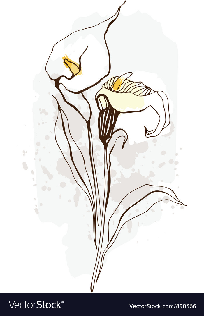 Calla floral of blooming flowers vector | Price: 1 Credit (USD $1)