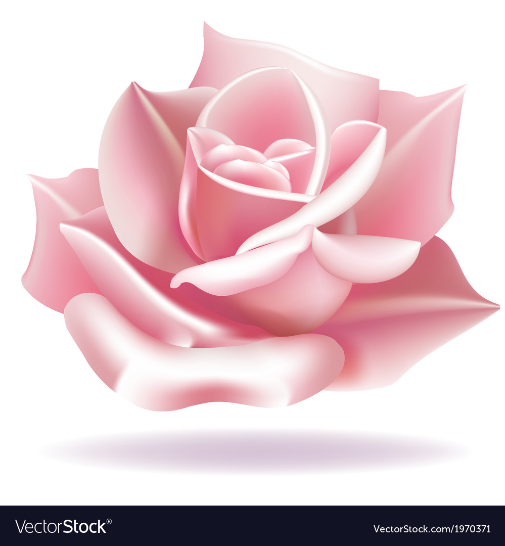 Delicate rose vector