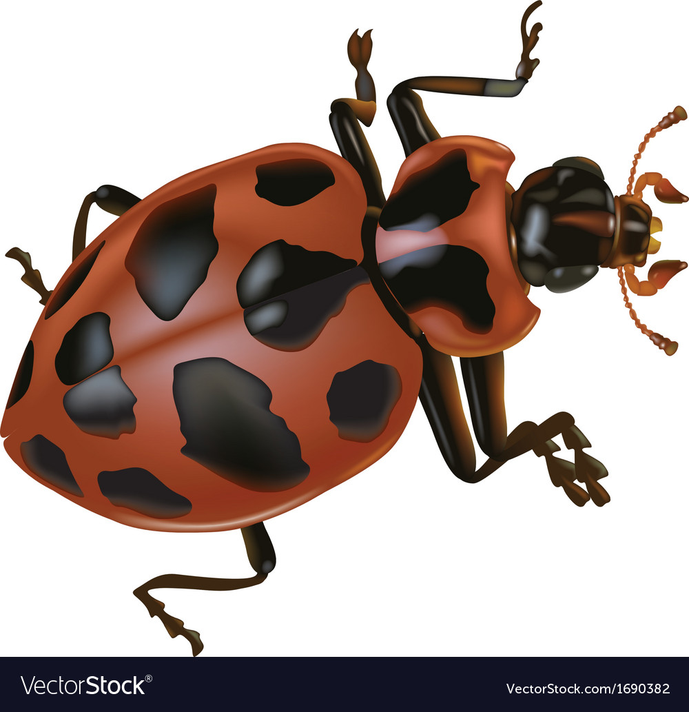 Spotted lady beetle vector | Price: 1 Credit (USD $1)