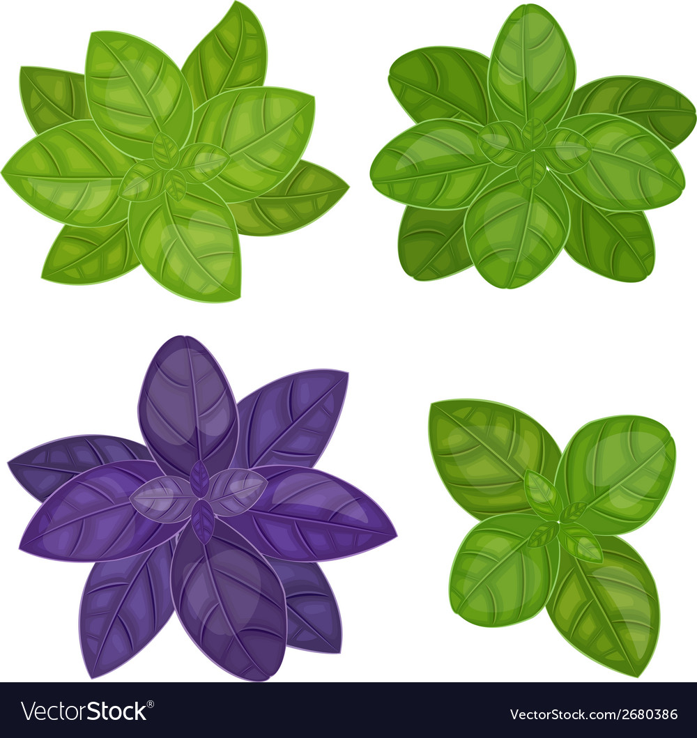 Fresh basil herb isolated set vector | Price: 1 Credit (USD $1)