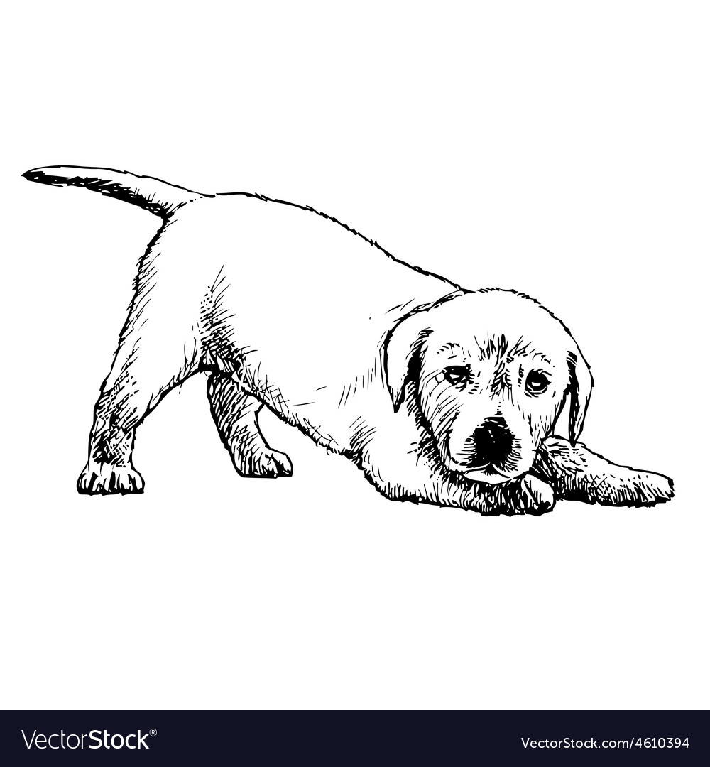 Labrador retriever puppy 03 1 vector | Price: 3 Credit (USD $3)