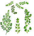 Bunch fresh thyme herb isolated set vector