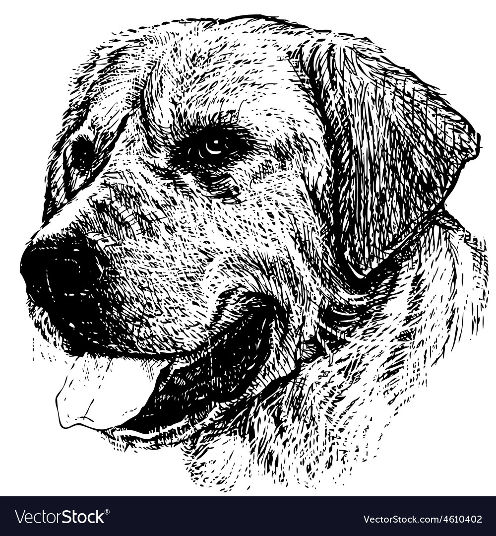 Labrador retriever 03 1 vector | Price: 3 Credit (USD $3)