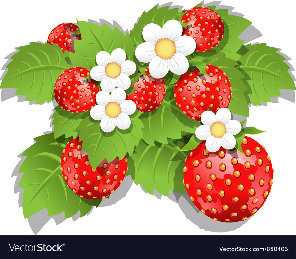 Strawberry bush vector | Price: 3 Credit (USD $3)