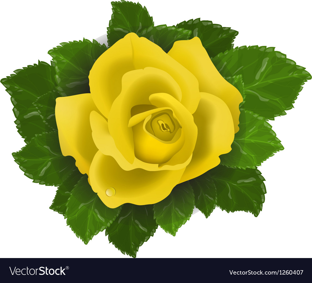 Yellow rose flower with leaves vector | Price: 3 Credit (USD $3)