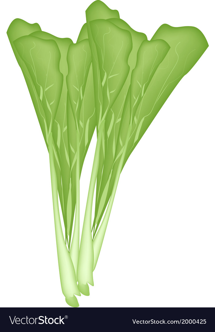 Fresh green chinese cabbage on a white background vector | Price: 1 Credit (USD $1)