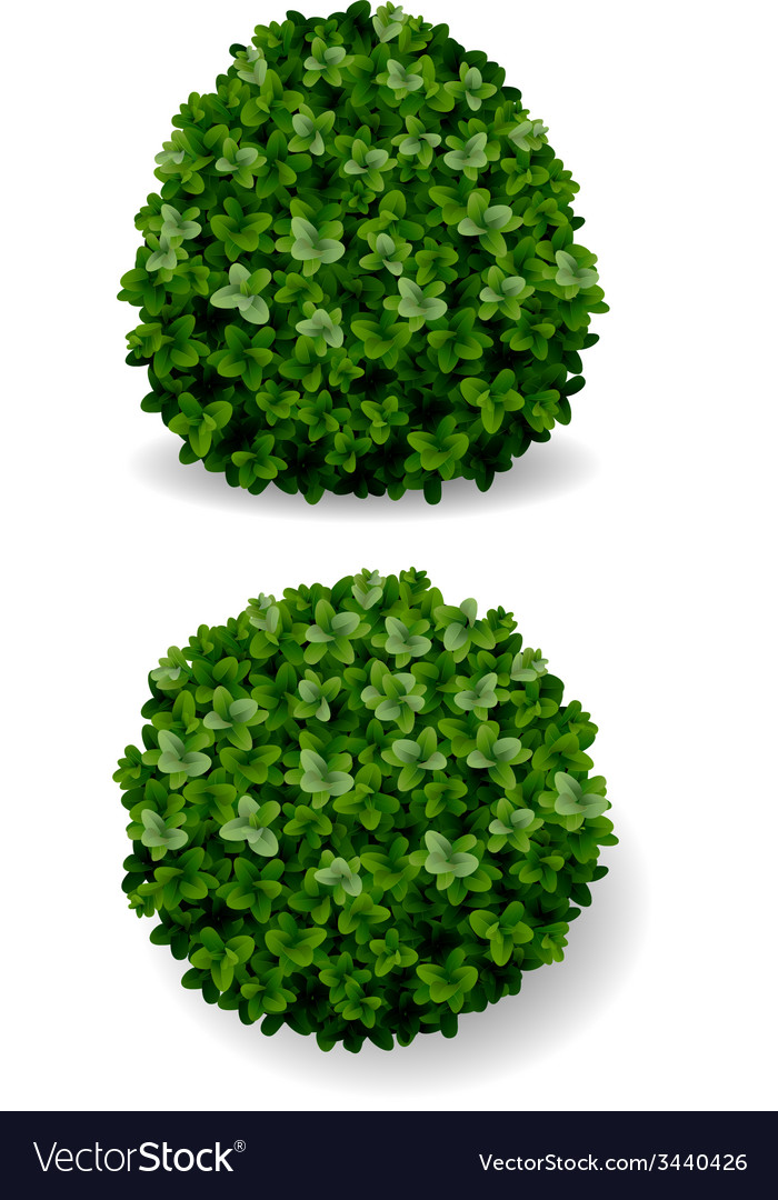 Bush decorative boxwood vector | Price: 3 Credit (USD $3)