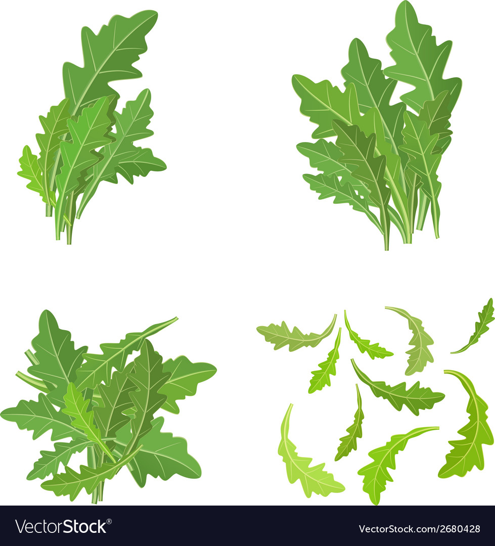 Bunch fresh arugula herb isolated set vector | Price: 1 Credit (USD $1)
