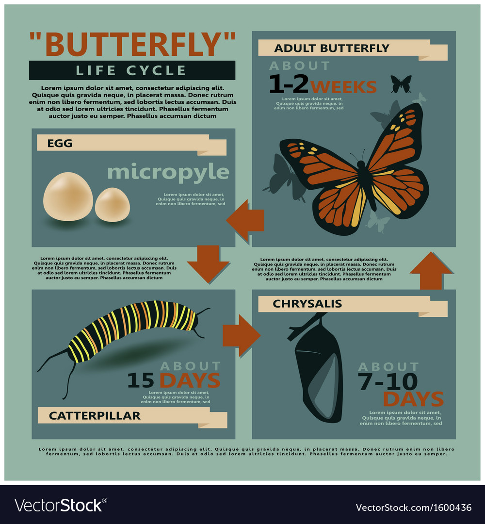 Butterfly is life cycle vector | Price: 1 Credit (USD $1)