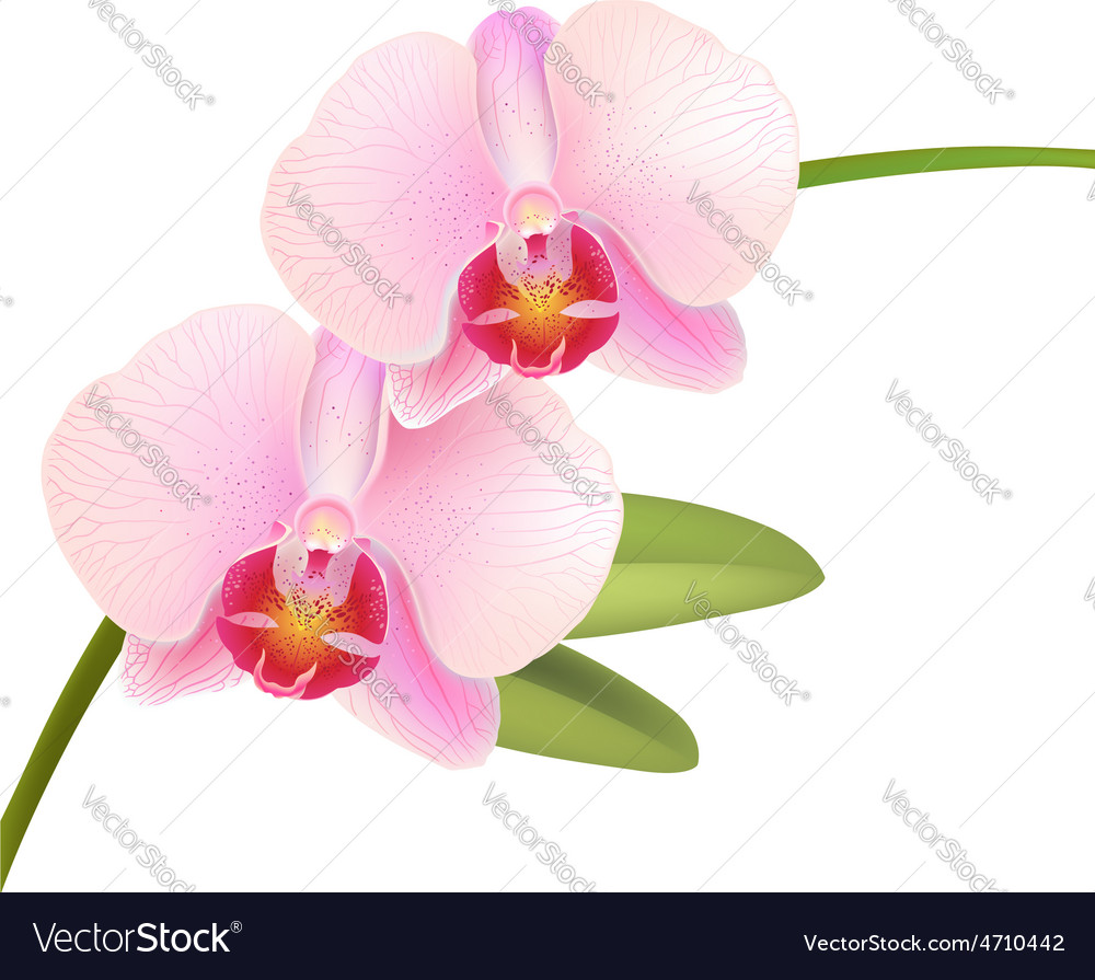 Pink phalaenopsis orchid vector | Price: 1 Credit (USD $1)