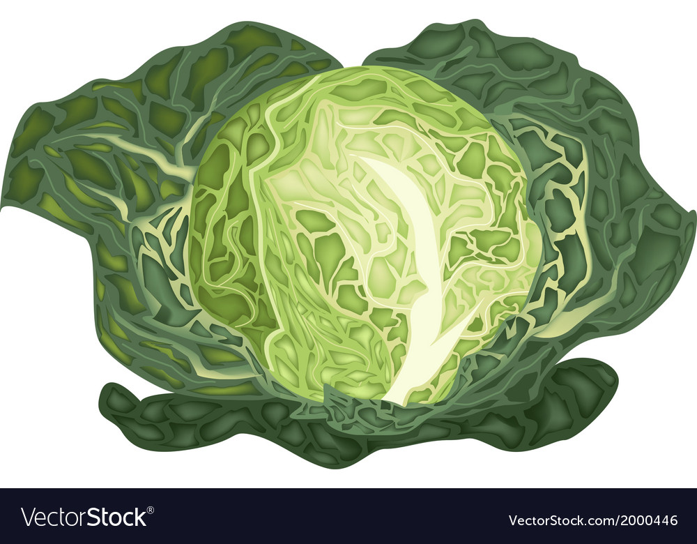 Fresh green savoy cabbage on white background vector | Price: 1 Credit (USD $1)
