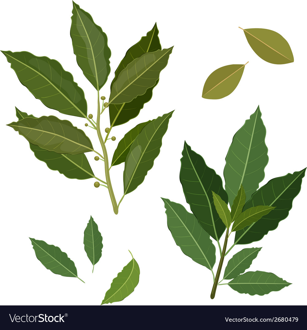 Twig fresh bay leaf herb isolated set vector | Price: 1 Credit (USD $1)