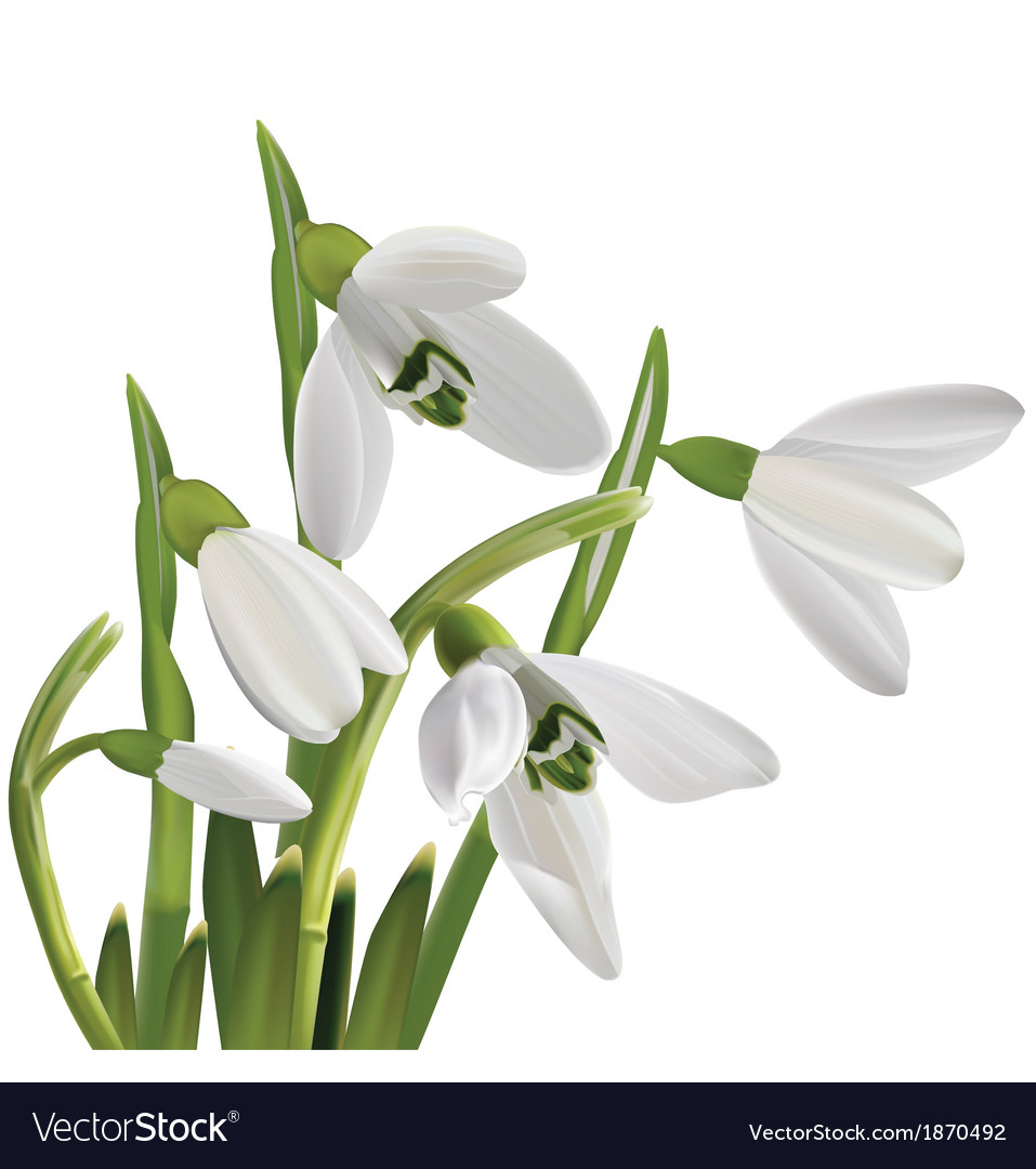 Spring snowdrop flowers bouquet isolated on white vector | Price: 1 Credit (USD $1)