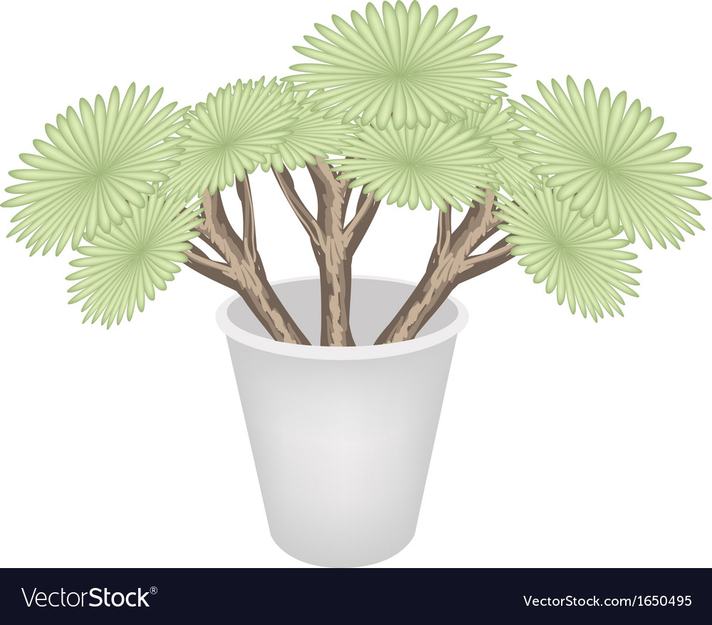 Beautiful dragon trees in a flower pot vector | Price: 1 Credit (USD $1)