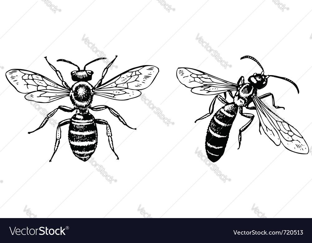 Halictus sweat bee vector | Price: 1 Credit (USD $1)
