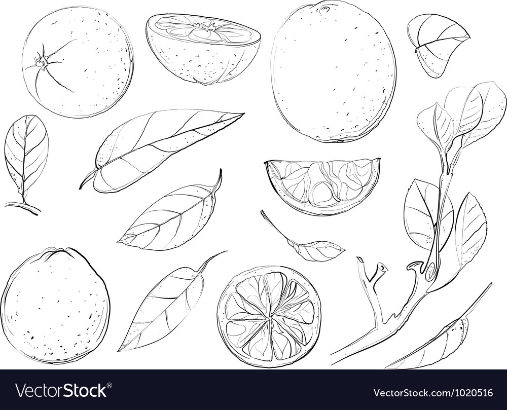 Sketch oranges and leaves set vector | Price: 1 Credit (USD $1)