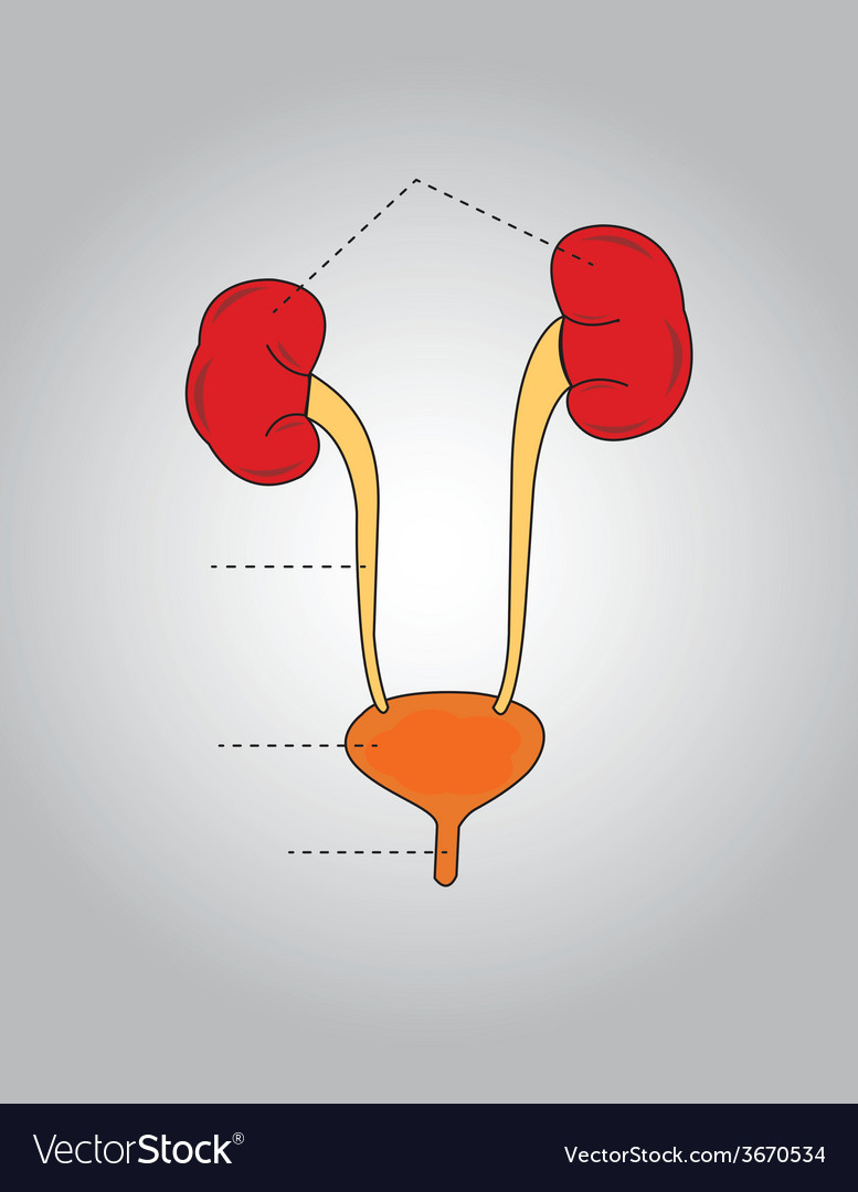 Urinary system vector | Price: 1 Credit (USD $1)
