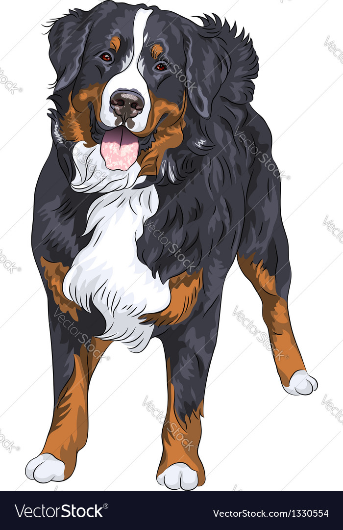 Bernese mountain dog standing and smiling vector | Price: 3 Credit (USD $3)