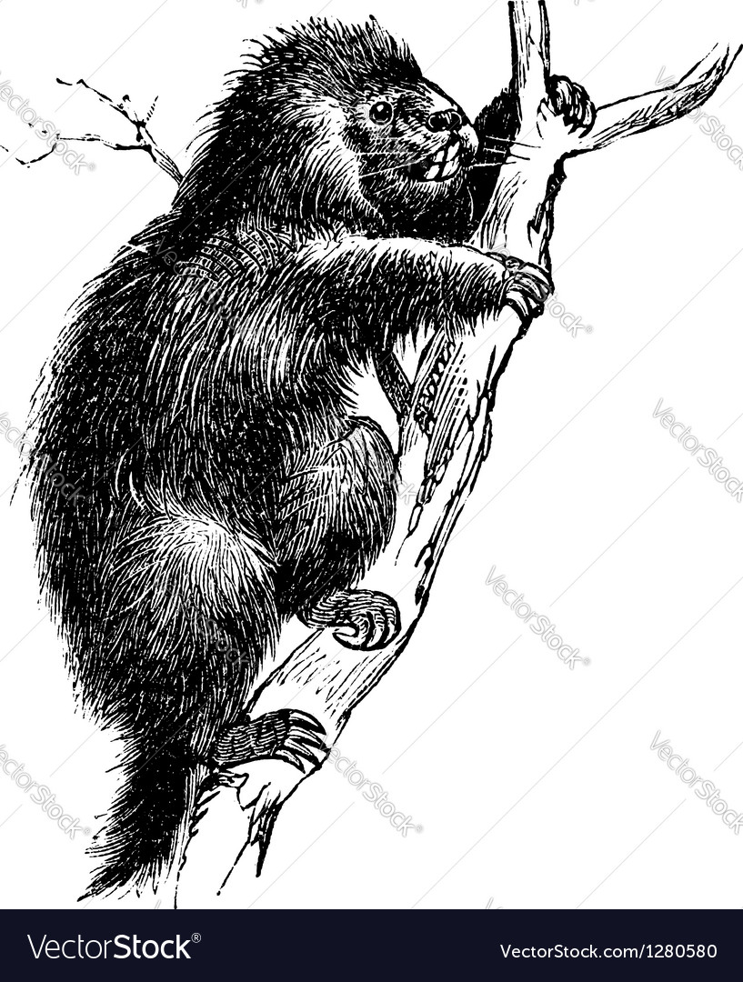 Porcupine vintage engraving vector | Price: 1 Credit (USD $1)
