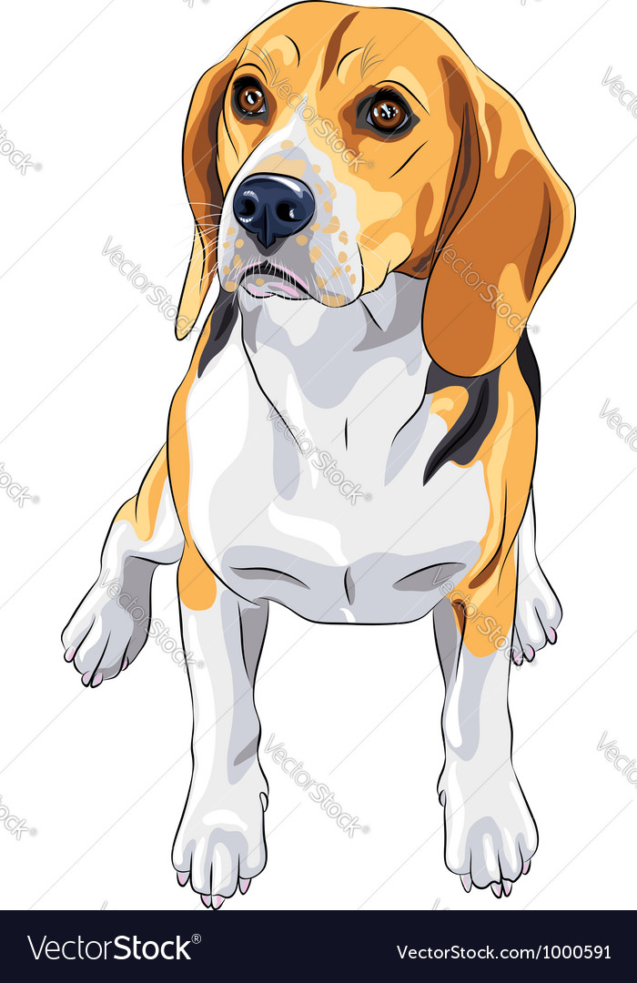 Sketch dog beagle breed sitting vector | Price: 3 Credit (USD $3)