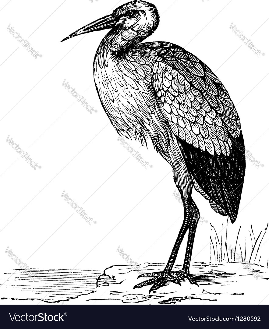 White stork vintage engraving vector | Price: 1 Credit (USD $1)