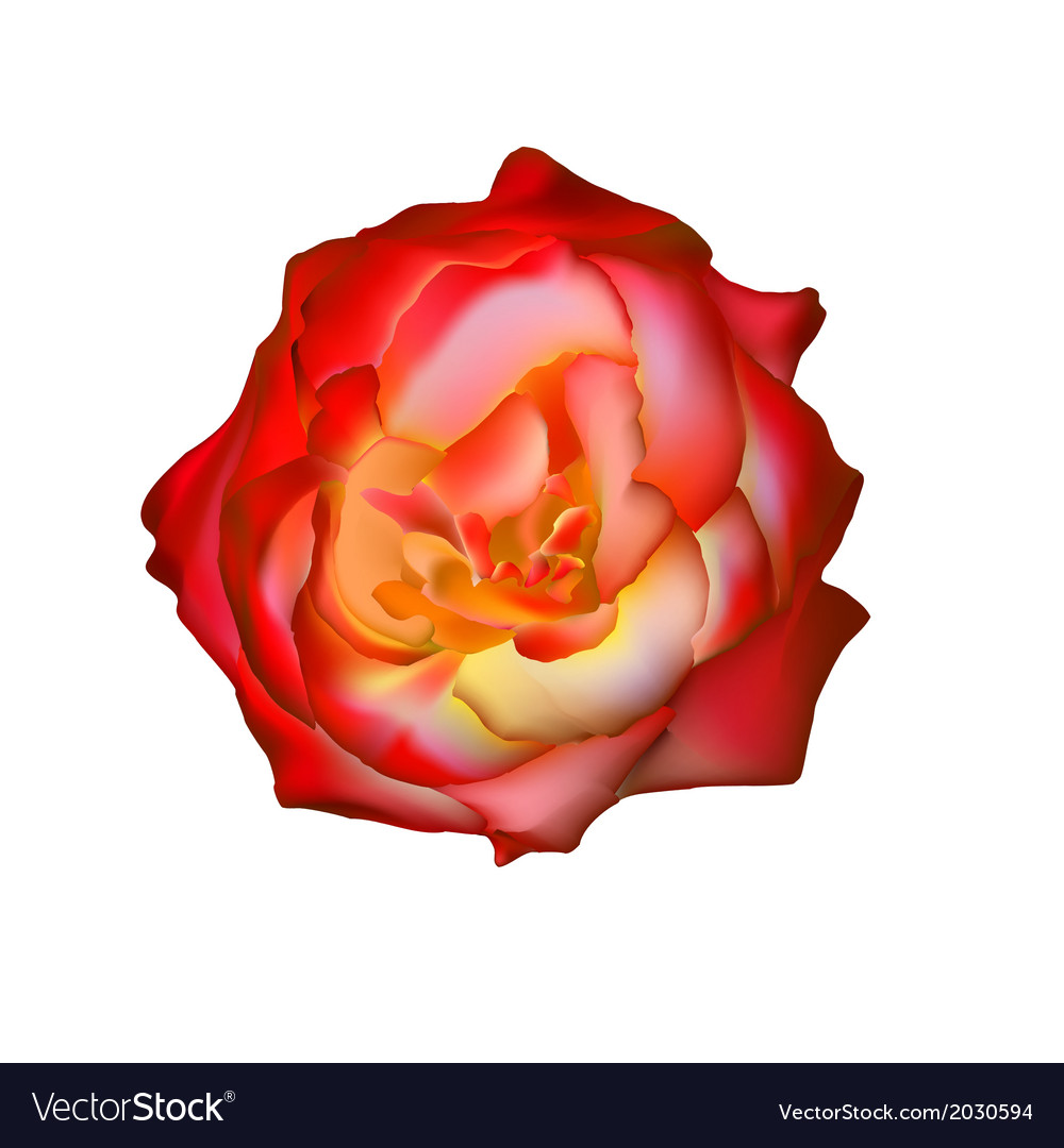 Rad rose isolated on white see more like it in my vector | Price: 1 Credit (USD $1)