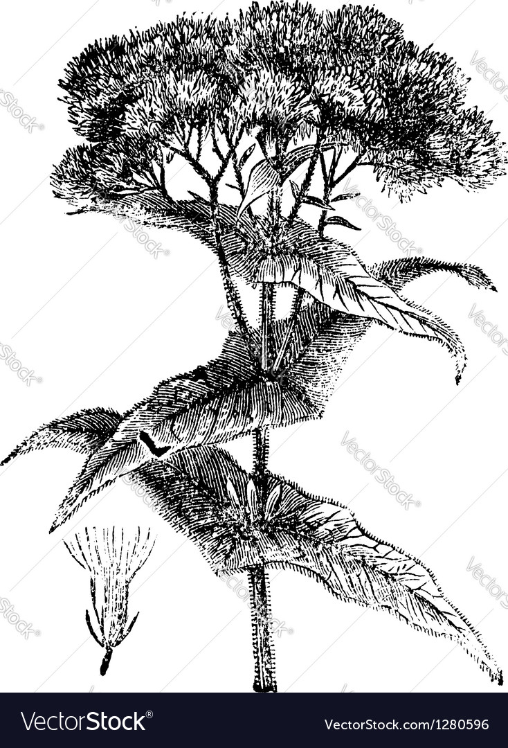 Joe-pye weed engraving vector | Price: 1 Credit (USD $1)