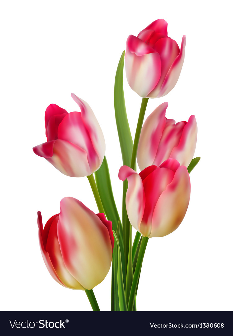 Beautiful bouquet of tulips on a white eps 10 vector | Price: 1 Credit (USD $1)