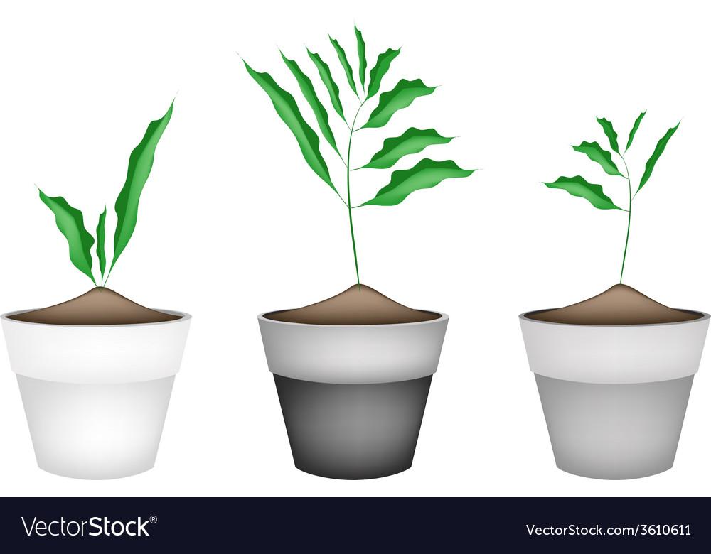 Fresh cardamon plant in ceramic flower pots vector | Price: 1 Credit (USD $1)