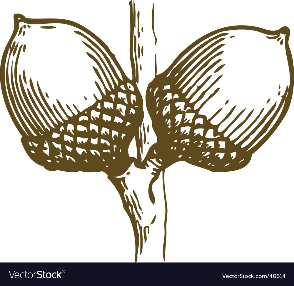 Acorns sketch vector