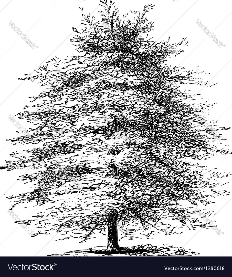 Italian cypress vintage engraving vector | Price: 1 Credit (USD $1)