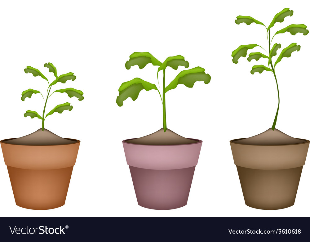 Three green trees in terracotta flower pots vector | Price: 1 Credit (USD $1)
