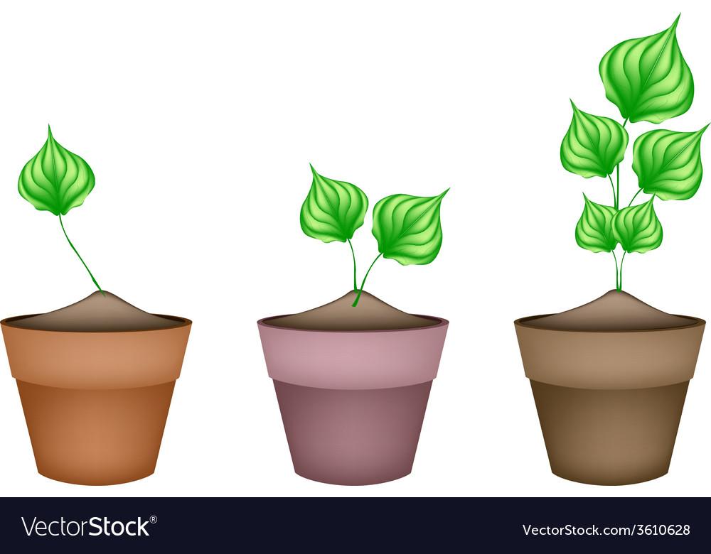 Green wildbetal leafbush in ceramic flower pots vector | Price: 1 Credit (USD $1)