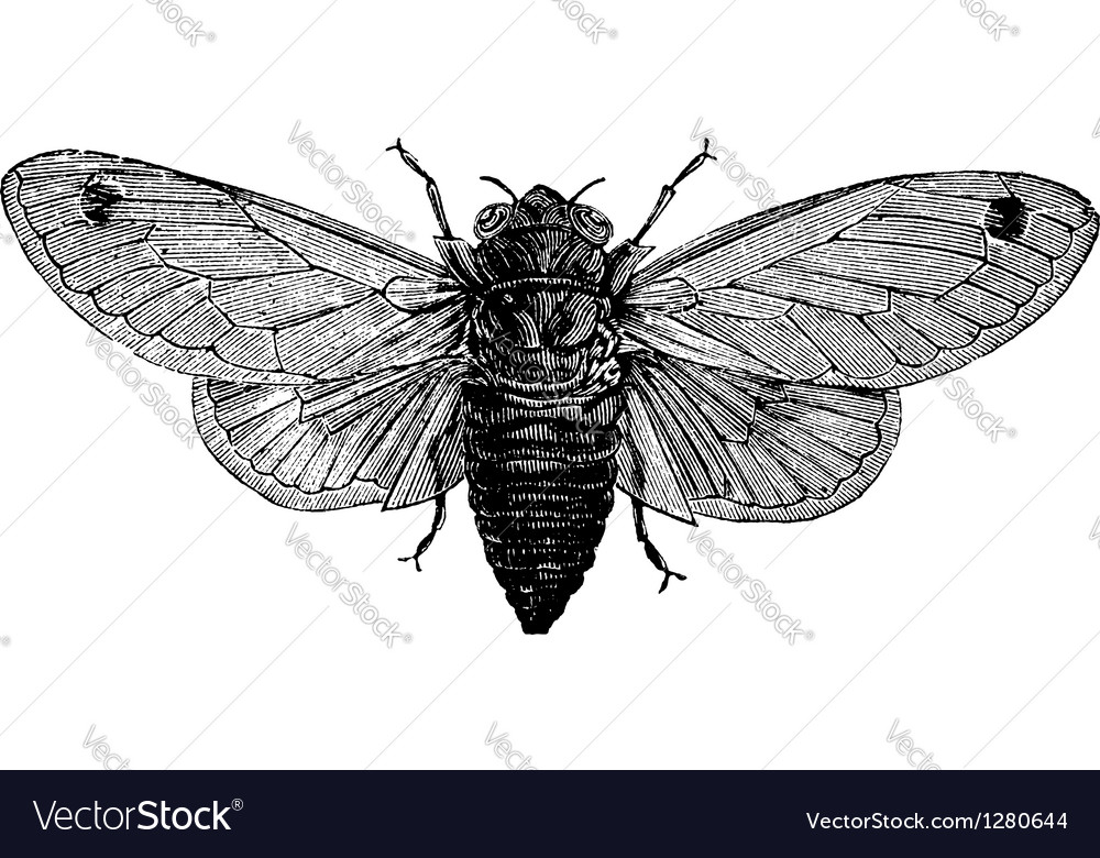 Cicada vintage engraving vector | Price: 1 Credit (USD $1)